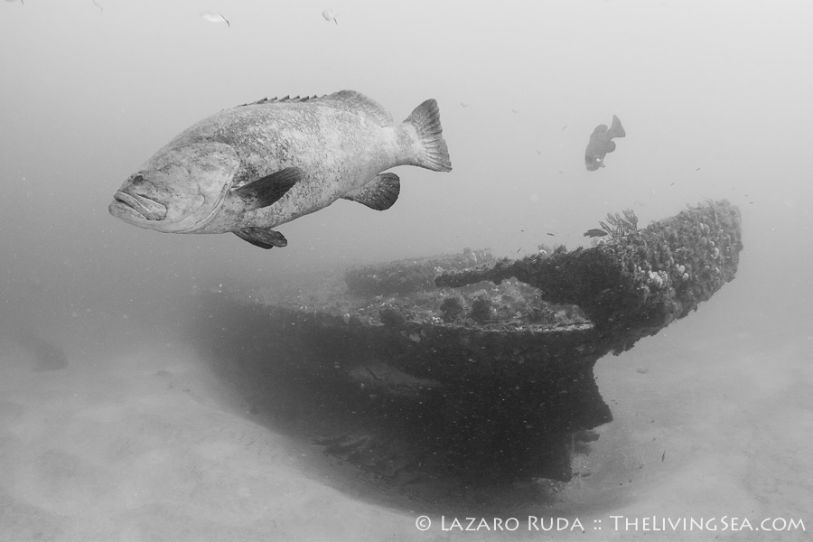 Goliath grouper on the Mizpah wreck