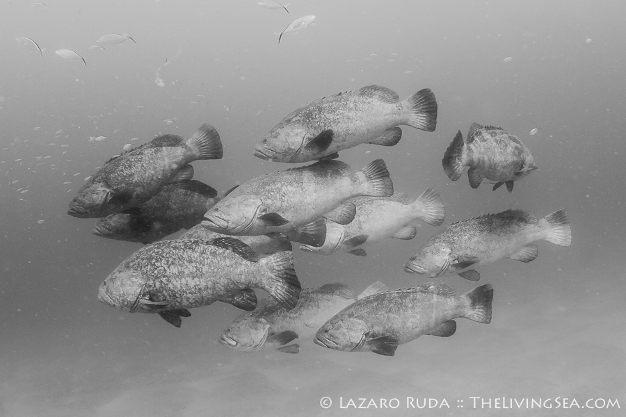 Goliath Groupers aggregation