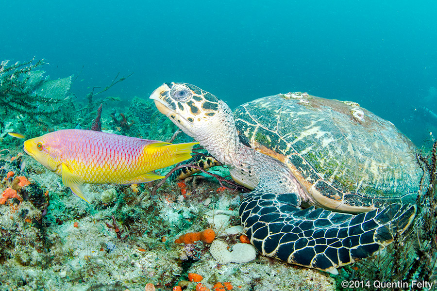 A Hawksbill sea turtle feeding with a Spanish Hogfish