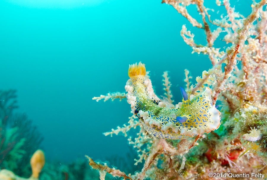 A Gold-Crowned Sea Goddess nudibranch