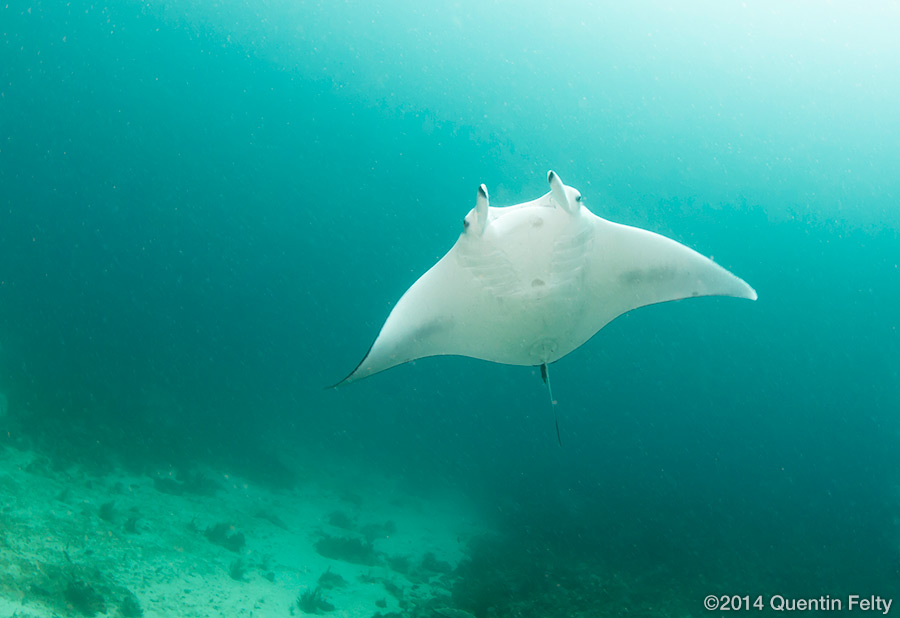 A Manta Ray swims over the divers