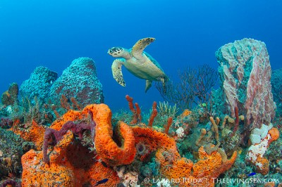 Hawksbill turtle on our beautiful reef