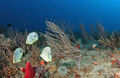 Spotfin Butterfly Fishes