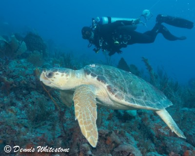 Loggerhead and Dive guide Alex