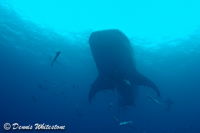 Whale Shark over head