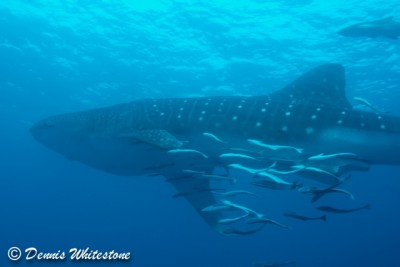 Whale Shark on Breakers Reef