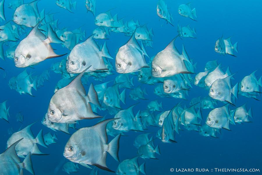 Atlantic Spade Fish