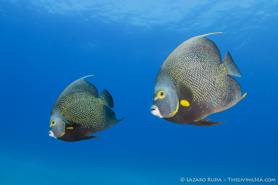 Two French angelfish enjoy the 100+ feet of visibility