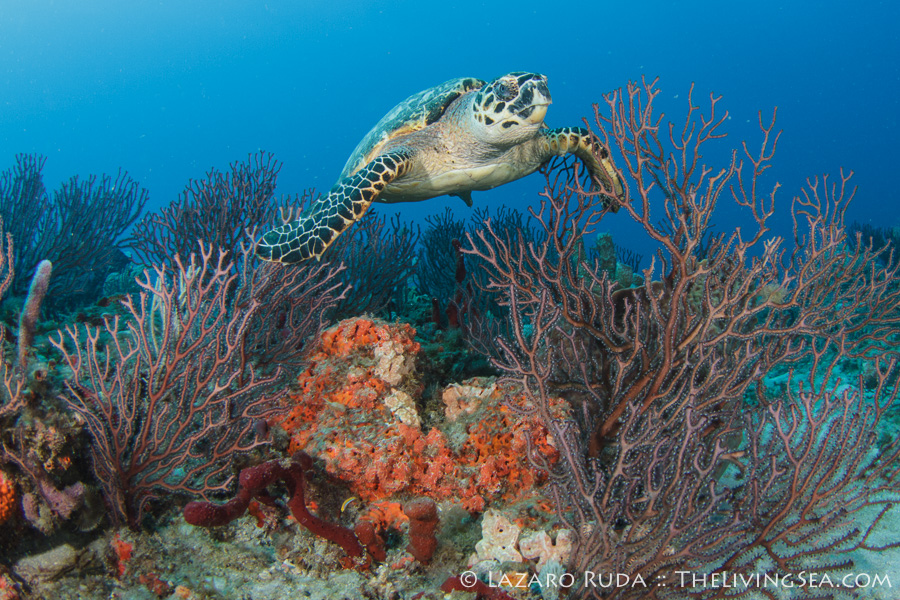 Young hawksbill sea turtle