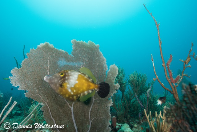 Whitespotted Filefish 'Styling & Profiling' in front of a sea fan
