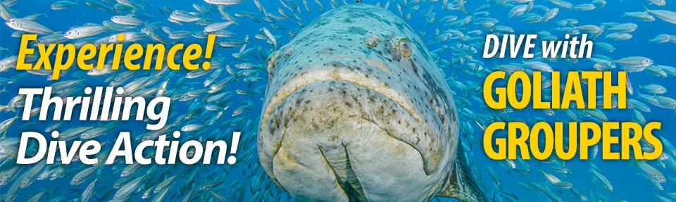 Best Goliath Grouper Diving