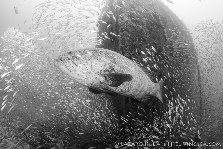 Giant goliath grouper chasing baitfish