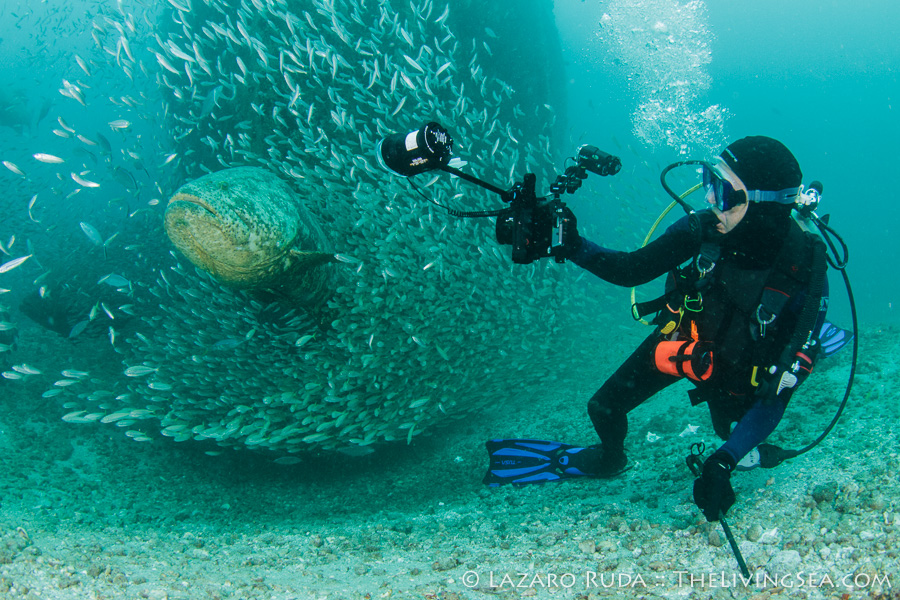 Diver with goliath grouper