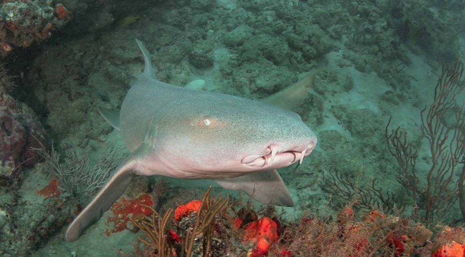 Up close and personal with the Nurse Shark