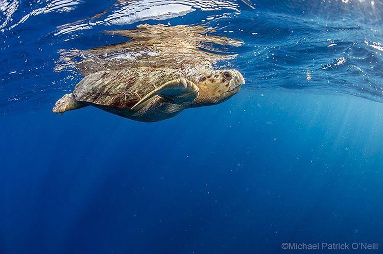 Loggerhead sea turtle by Michael Patrick O'Neill