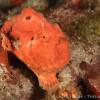 Longlure frog fish during a night dive
