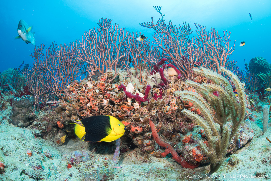 Excuses to go scuba diving - yellow fever