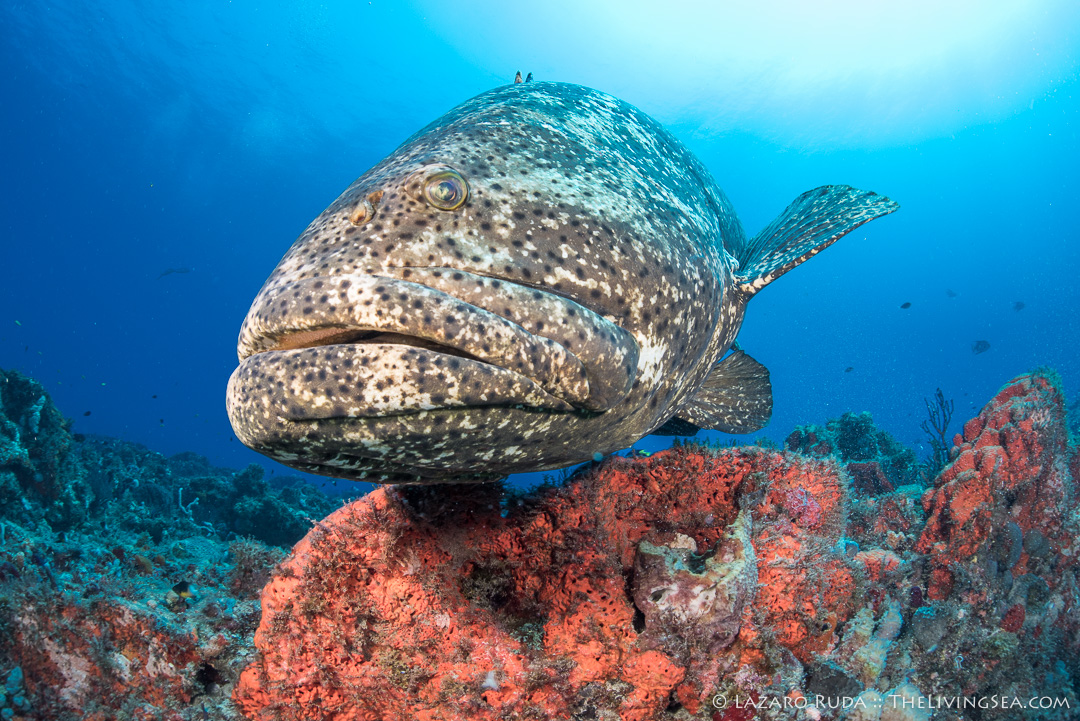 Close-up of goliath grouper