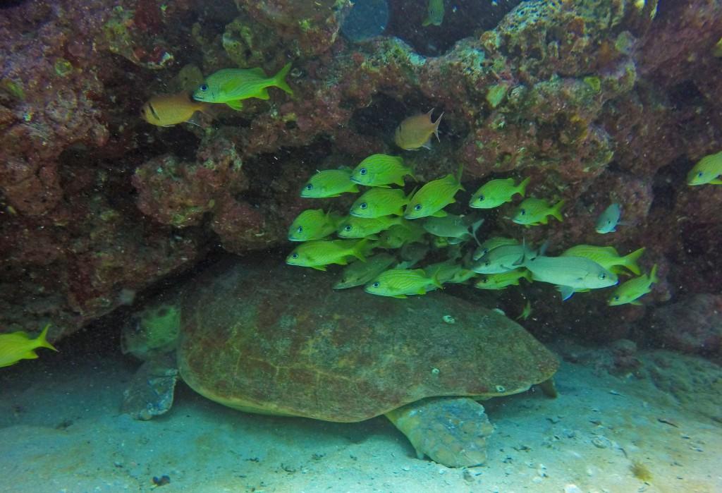 A Loggerhead Turtle nestled under a ledge