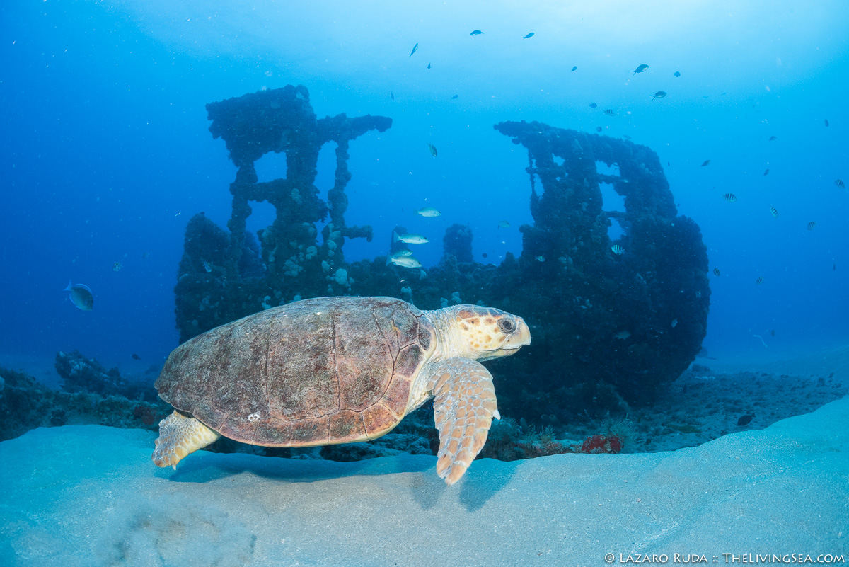 Sea Turtle of Corridor ship wreck
