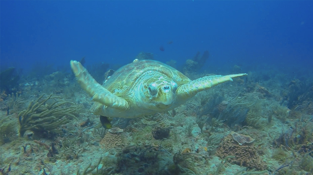 loggerhead-video