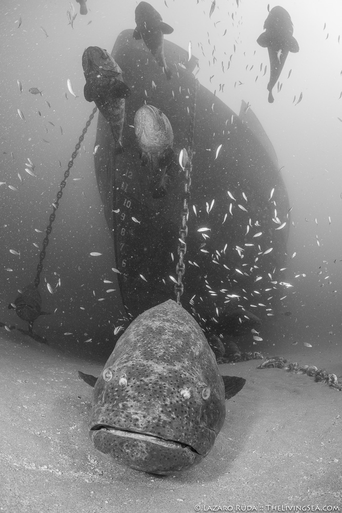 Goliath groupers ship wreck