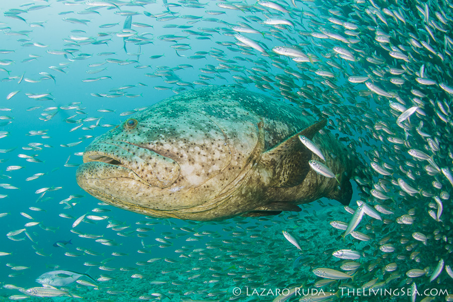 Diving with Giant Groupers