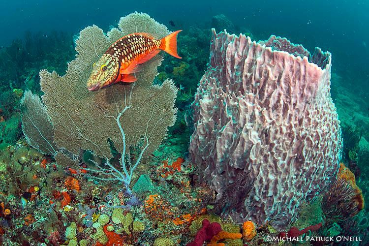 Sea fan and Barrel Sponge