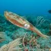 Close-up of female Caribbean reef squid